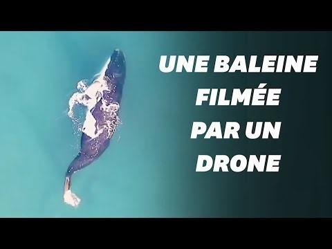 Un balaine filmée par un drone